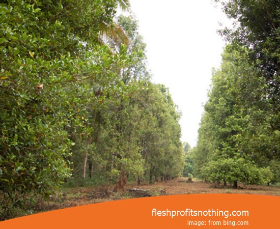 Location Agriculture Of Semarang Clove Seeds