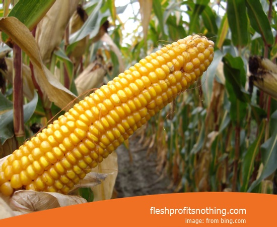 Cost Sell of 18 Terbar Corn Seeds