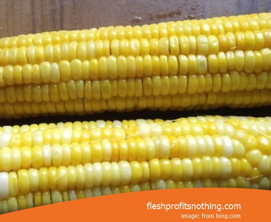 Cost Buy of New Corn Seed Fodder