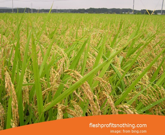 Type Of Seed Rice Sembada 626 Gold 70 Harvest Day