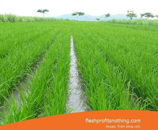 Type Of Seed Rice Excellent 08 Superior type