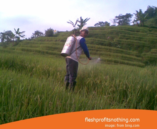 New Varieties Of Seed Rice F8 07 Old age