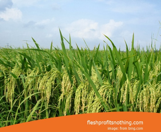 Price Seed Rice Of Fanc 07 Most Fast Harvest