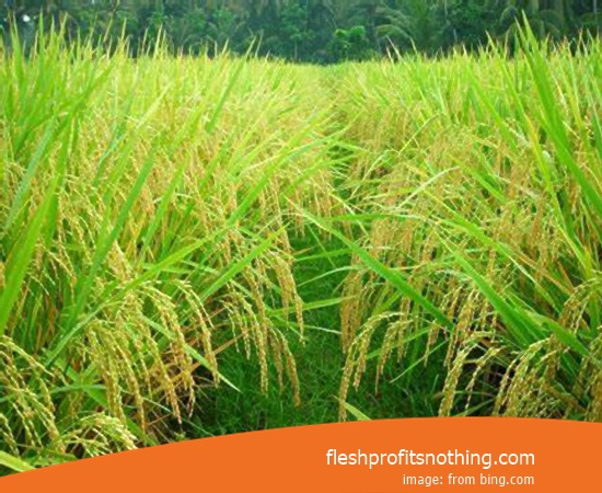 Price Seed Rice Of Vutw 297 2 Month Harvest